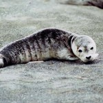 Resting Baby Seal