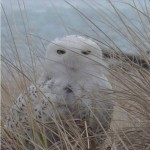 Arctic Visitor: Snowy Owl