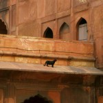 Cat on Hot Indian Roof