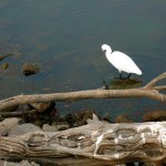 Egret at Bharatpur Bird Reserve