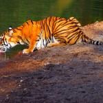 Drinking Tiger: Ranthambore Tiger Reserve